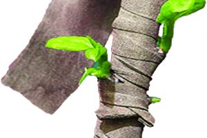 Rubber strip wrapped around plant stem