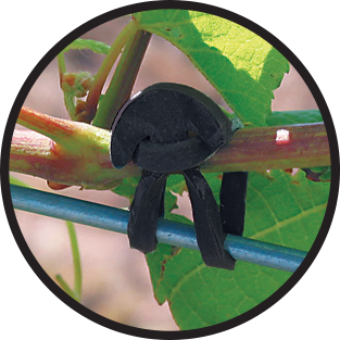 Black rubber band holding vine to wire